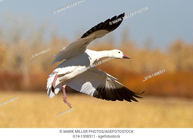 Snow Goose in flight, New Mexico, USA