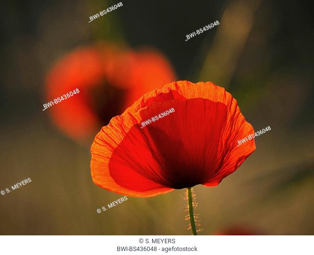 Common poppy, Corn poppy, Red poppy (Papaver rhoeas), flower in backlight, Hungary