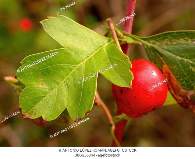 Common Hawthorn (Crataegus monogyna) fruit and leaves
