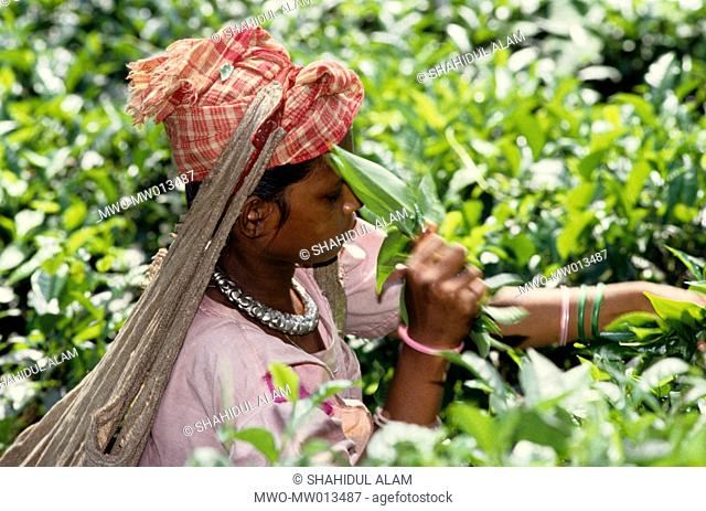 Tea is a major industry in Bangladesh and grows in the low hills of Chittagong and Sylhet The tea plantation workers in Sylhet are mostly of the indegenous...
