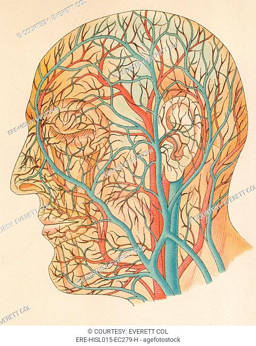 Blood vessels of the head from a German anatomy text of ca. 1900