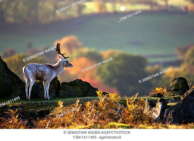 The Fallow Deer (Dama Dama), Bradgate Park, Charnwood forest, Newtown Limford, Leicestershire, England, Europe