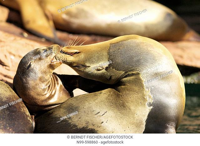 California sea lion (Zalophus californianus), mother with cub, snout contact, geste of tenderness, Zoo of Nuremberg. Germany