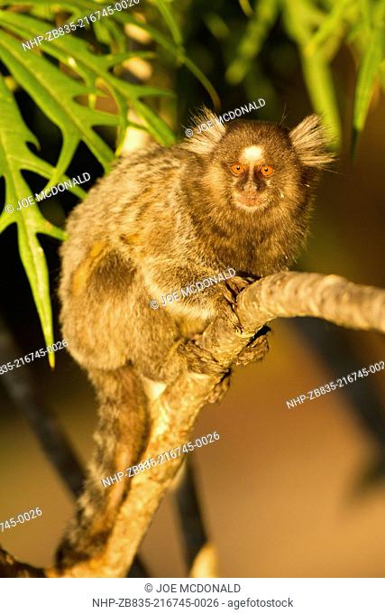 Common Marmoset, Callithrix jacchus, on tree, Pantanal, Brazil, South America