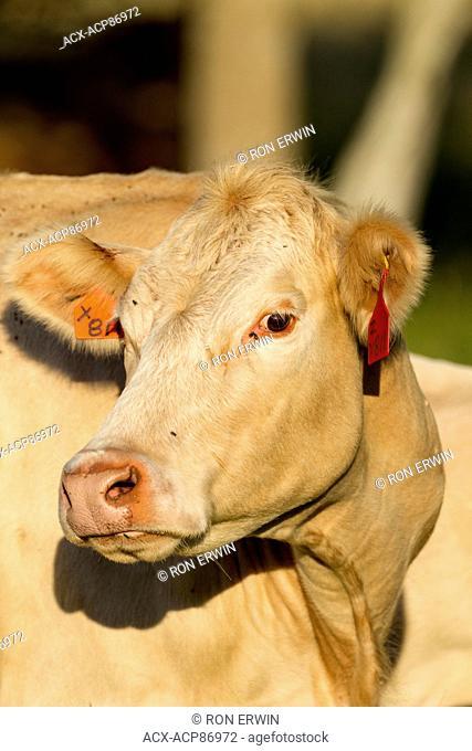 Charolais cross cow on Barrie Island, Ontario, Canada