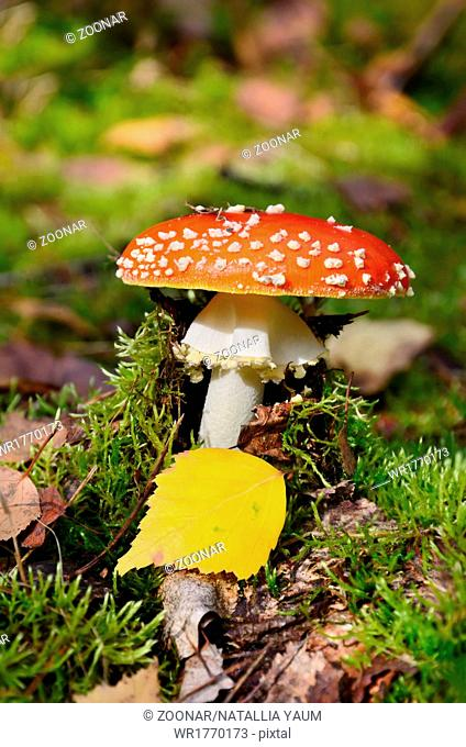 Amanita poisonous mushroom