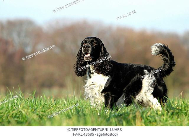 standing English Springer Spaniel