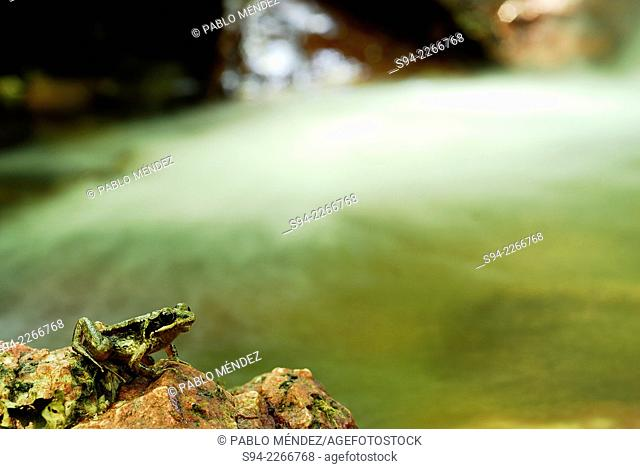 Iberian frog (Rana iberica) sitting on a rock in stream of Ferradal in Valdeorras region, Orense province, Spain