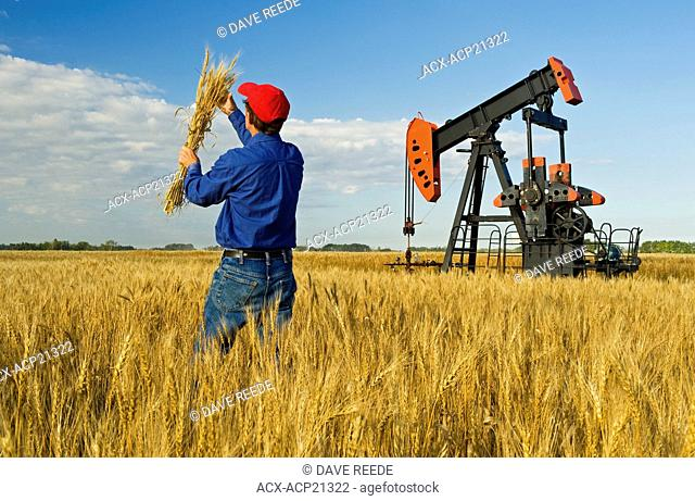 a man examines mature harvest ready wheat while an oil pumpjack pumps oil in the background, near Sinclair, Manitoba, Canada