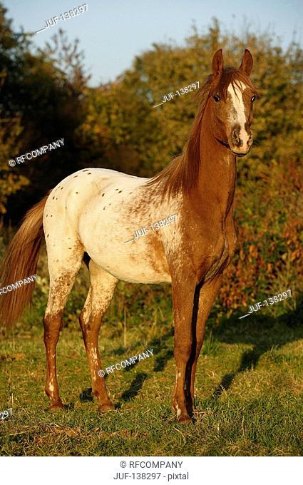 Ara-Appaloosa - standing on meadow