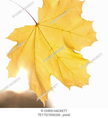 Close up of yellow leaf