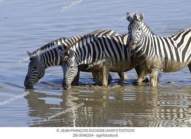 Burchell's zebras (Equus quagga burchellii) in muddy water, drinking at the Okaukuejo waterhole, Etosha National Park, Namibia, Africa