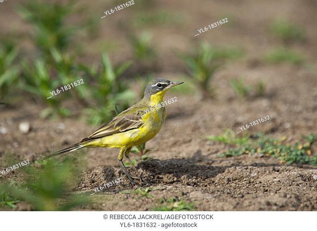 a yellow bird in Ethiopia