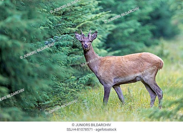 Red Deer (Cervus elaphus). Attentive brocket standing at the forest edge. Denmark