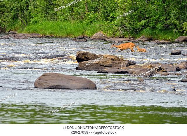 White-tailed deer (Odocoileus virginianus) Doe and fawn crossing Kettle River, Minnesota wildlife Connection, Sandstone, Minnesota, USA