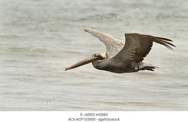 Brown Pelican, Central America, Ecuador, Pelecanus occidentalis