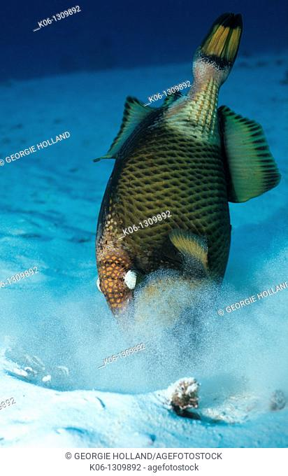 Giant or Moustache triggerfish Balistoides viridescens  Andaman Sea, Thailand  Indo-Pacific