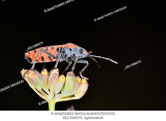 Hemiptera bug, Crete