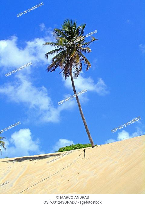 a big and high palm tree at jenipabu beach dunes