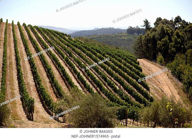 Vineyard on hills