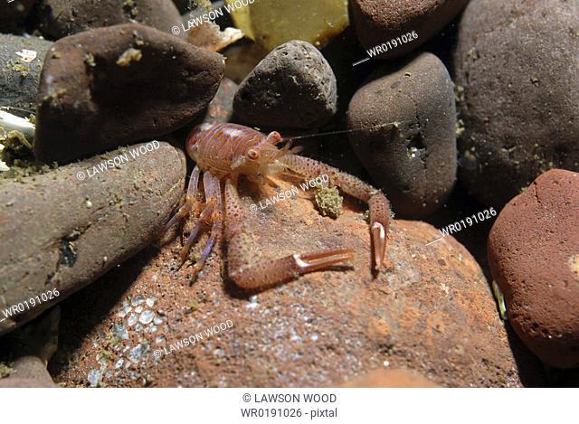 Long Clawed Squat Lobster Munida rugosa, Juvenile amidst reddish brown rocks, St Abbs, Scotland, UK North Sea