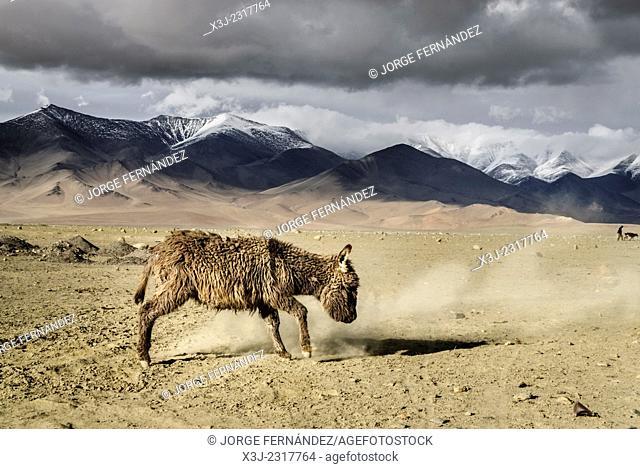 Donkey near Karakul lake, Pamir highway, Tajikistan, Asia