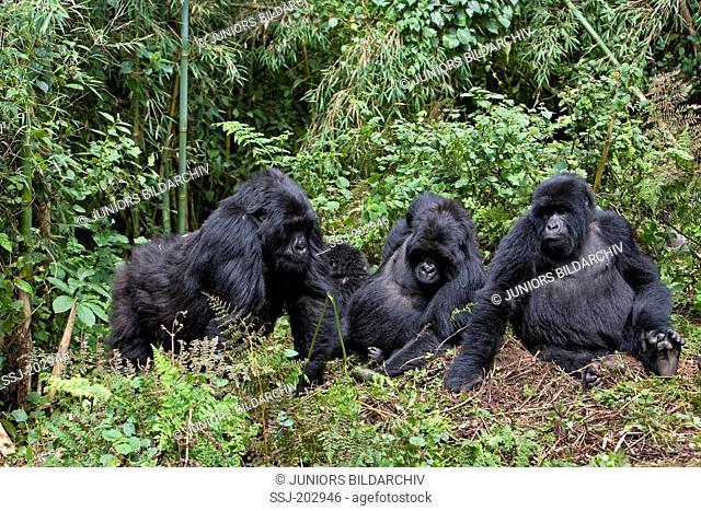 Mountain Gorilla (Gorilla beringei beringei). Family at Volcanoes National Park, Rwanda