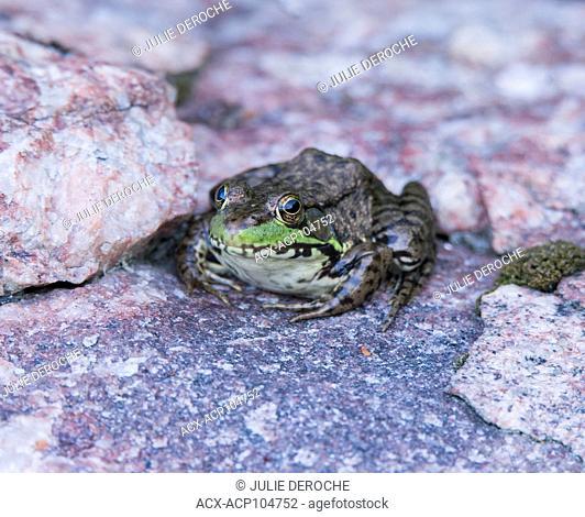 Mink frog, Rana septentrionalis