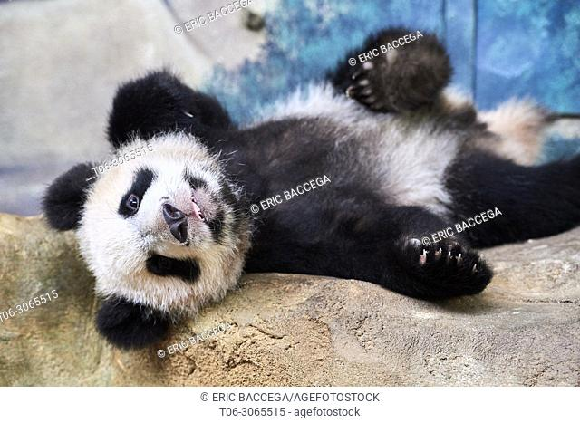 Playful giant panda cub (Ailuropoda melanoleuca) upside down. Yuan Meng, first Giant panda even born in France, now aged 10 months, Beauval Zoo, France