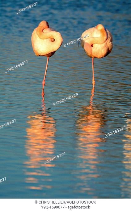 Two Sleeping Flamingoes Camargue France