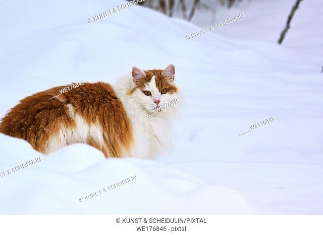 Portrait of a long haired orange and white cat in the snow