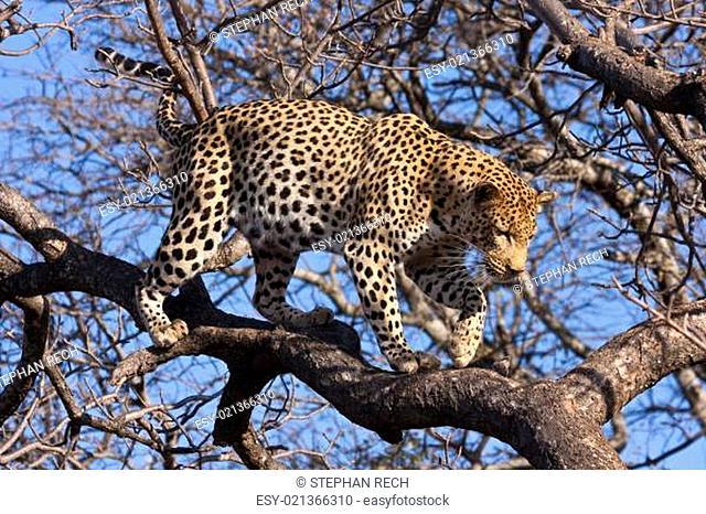 Leopard (Panthera pardus) klettert im Baum herum