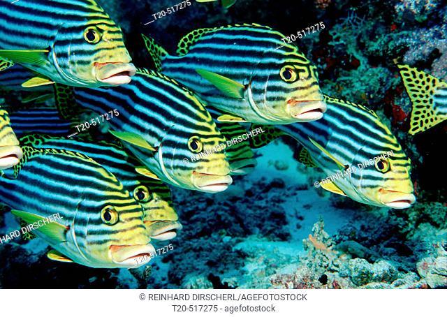 Oriental sweetlips, Plectorhinchus vittatus. Ari Atoll, Maayafushi. Maldives Island, Indian Ocean