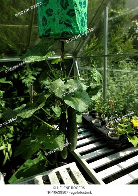 Hanging Upside Down Cucumbers Growing In Greenhouse