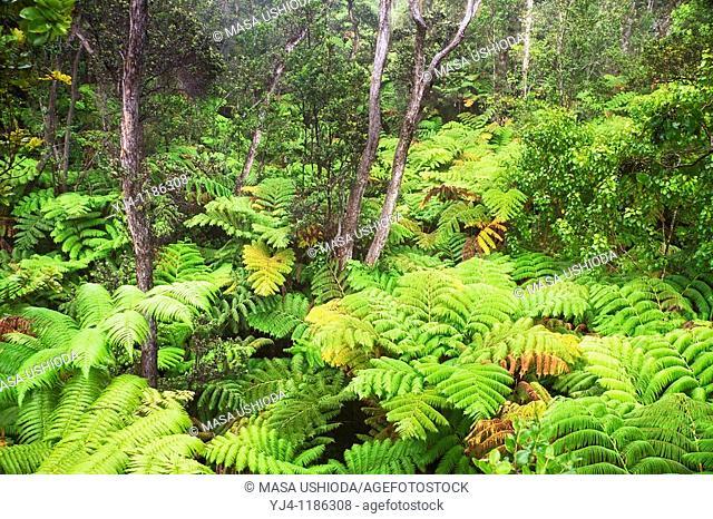 Hawaiian tree fern or hapuu, Cibotium glaucum, and Ohia Lehuna tree, Metrosideros polymorpha, tropical rainforest, Hawaii Volcanoes National Park, Kilauea