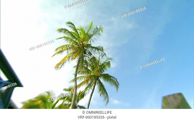 Two Palm Trees with coconuts seen from below with wooden post and building zoom in