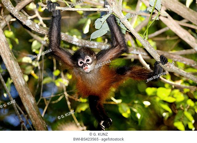 black-headed spider monkey (Ateles geoffroyi), brachiate at branches, Costa Rica
