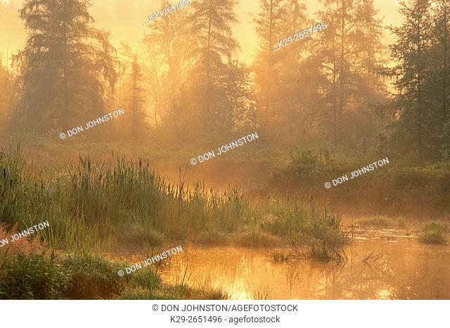 Wetland pond with mist and larches at sunrise, Greater Sudbury, Ontario, Canada