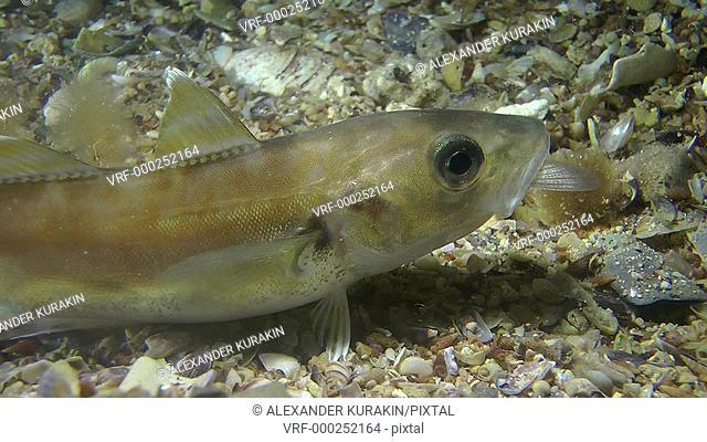Whiting (Merlangius merlangus) with a tail of eaten fish sticking out of its mouth, slowly swims through the frame, close-up. Black Sea. Ukraine