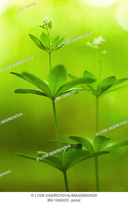 Sweet Woodruff, White-flowered Woodruff, Hay plant, Our Ladys Lace, Star grass, Sweet grass, Sweet Bedstraw, Sweet Woodruff, Sweet-Scented Bedstraw
