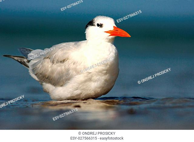 Tern in the water. Royal Tern, Sterna maxima or Thalasseus maxim