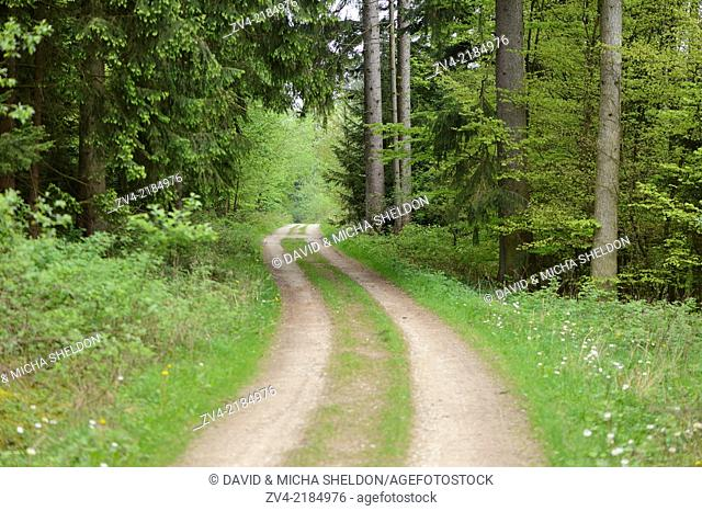 Landscape of a little trail going through a Norway spruce (Picea abies) forest in spring