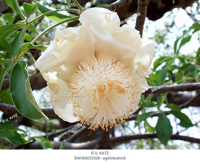 baobab, monkey bread, monkey tamarind (Adansonia digitata), flower