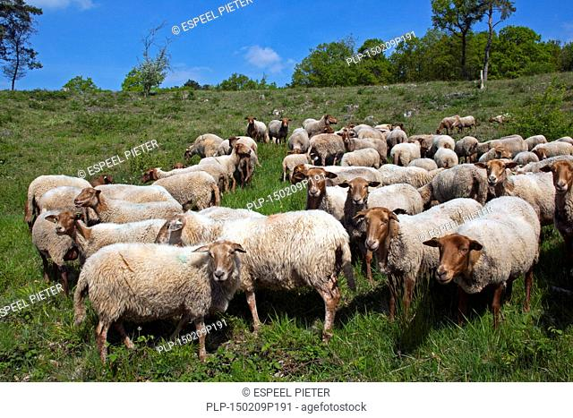 Flock of Ardense Voskop (Ovis aries) Belgian breed of domestic sheep in the Ardennes, Belgium