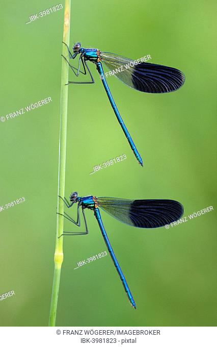 Banded Demoiselles (Calopteryx splendens), two males, Bulgaria