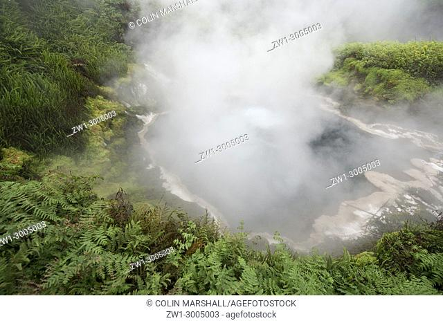 Boiling hot spring surrounded by ferns and trees enveloped in steam, Waikite Valley Thermal Pools Park, Rotorua, North Island, New Zealand