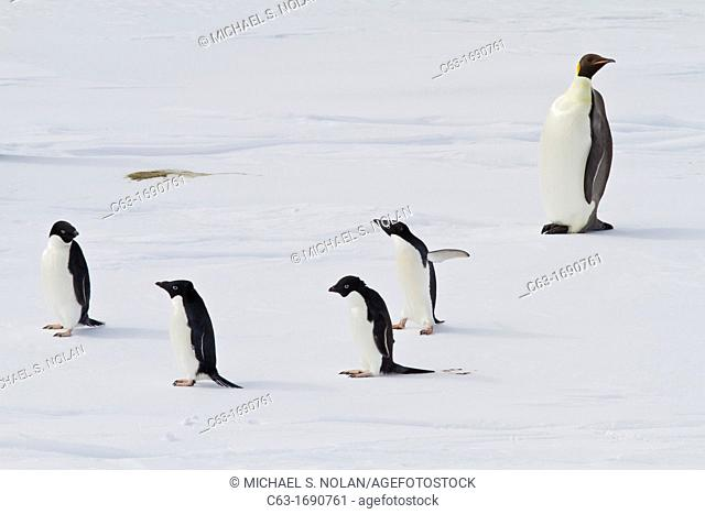 A lone adult emperor penguin Aptenodytes forsteri with four adult Adélie penguins Pygoscelis adeliae on sea ice in the Weddell Sea near Snow Hill Island