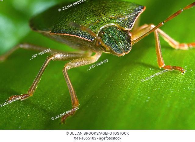 Green shieldbug on leaf  Palomina Prasina, Order Hemiptera sub order Heteroptera Family Acanthosomidae