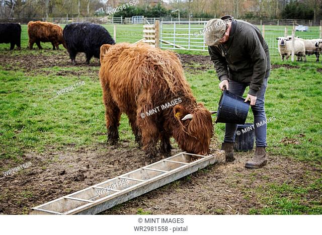 A man filling a feed trough for a group of highland cattle in a field
