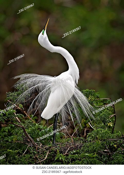 A Great Egret is displaying her graceful breeding plumage in the nest. Photographed in Florida during Spring
